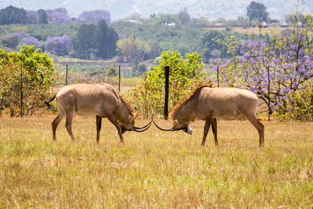 Two Roan Antelopes Fighting with each other, Swaziland, Africa