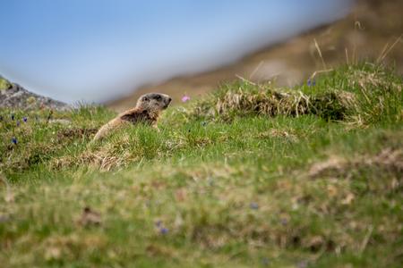 Baby Marmot Sitting on Meadow, European Alps, Italy Stock Photo