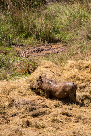 Warthog eating Hay during Drought in Mlilwane Wildlife Sanctuary, Swaziland, Africa