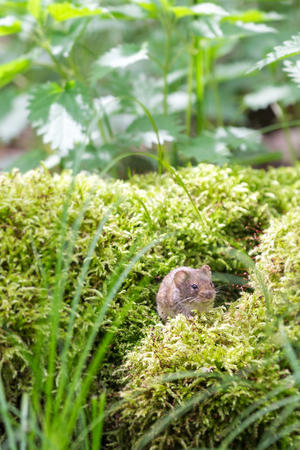 Wild Brown Wood Mouse sitting on Moss in the Forest, Close-up, Germany Stock Photo