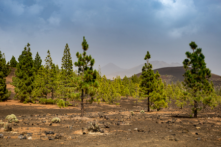 Conifer Forest in Teide Nation Park with Mountains in the Background, Tenerife, Spain, Europe
