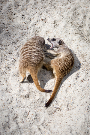 Two Meerkats (Suricata suricatta) Play Fighting  with Each Other.
