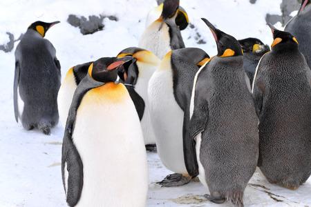 pinguinera: Colonia de ping�inos rey en el zool�gico de Asahiyama, Jap�n