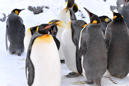 King Penguin Colony at the Asahiyama Zoo, Japan
