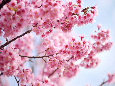 Closeup of Wild Himalayan Cherry Prunus cerasoides at Khun Mae