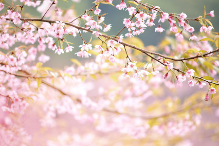 pink cherry: Closeup of Wild Himalayan Cherry  Vintage Color Stock Photo