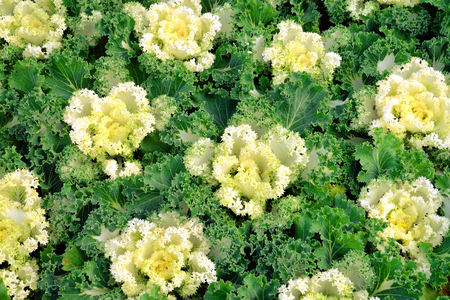 flowering kale: Flowering kale Stock Photo