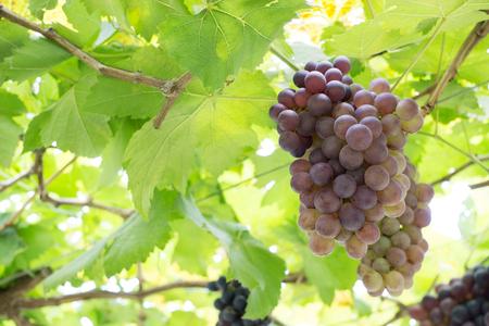 Grape vine Stock Photo