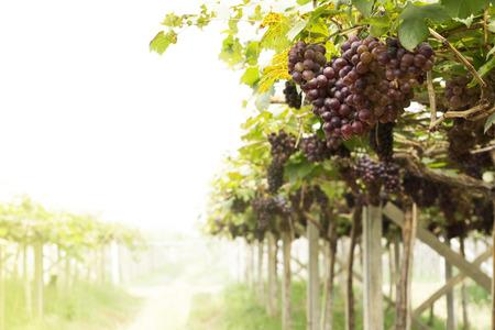 Grapevine plantation background
