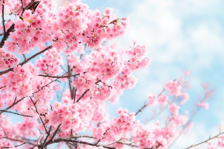 Schoonheid in de natuur van roze lente kersenbloesem in volle bloei onder heldere blauwe hemel. Stockfoto