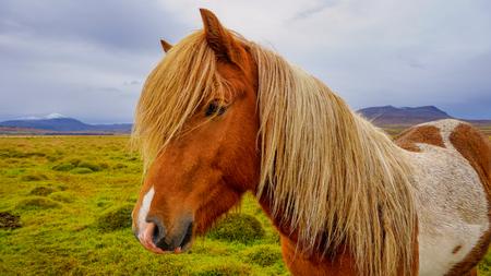 Portrait of Icelandic horse close up shot. Iceland 版權商用圖片