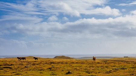 Pack of Icelandic horse in the meadow of Iceland 版權商用圖片