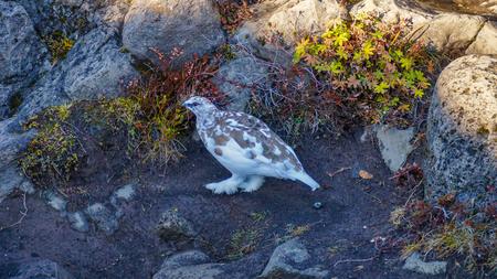 Rock Ptarmigan (Lagopus muta), Godafoss, Iceland