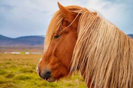 Portrait of Icelandic horse close up shot. Iceland Reklamní fotografie
