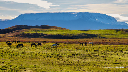 Pack of Icelandic horse in the meadow of Iceland Reklamní fotografie
