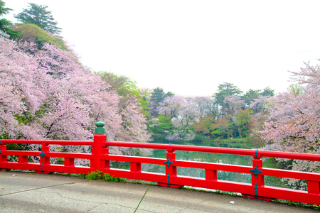 Beautiful landscape of cherry blossom full bloom and red bridge. Spring time in Takaoka, Japan