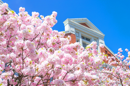 Beauty in nature of pink spring cherry blossom in full bloom  under clear blue sky at Japan Mint museam
