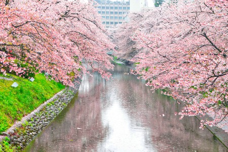 Beautiful landscape of cherry blossom full bloom. Spring time in Takaoka, Japan