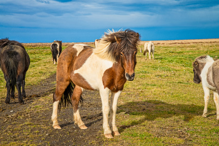 Icelandic horse in the meadow of north Iceland