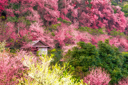 The old hut hiding in the beautiful cherry blossom forest. Its look like dreamy forest in the fairy tale. Reklamní fotografie
