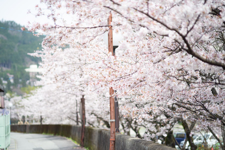 Beautiful landscape of cherry blossom full bloom. Spring time in Gero, Japan