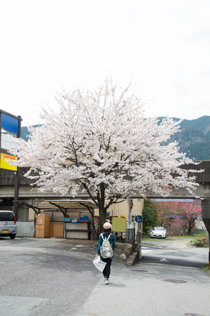 An asian woman traveler was sightseeing Cherry Blossom(Sakura) - Spring in Japan Reklamní fotografie