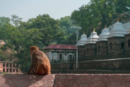 A monkey look around for waiting some food from tourist at Pashupatinath Temple the famous   Located on the banks of the Bagmati River in Kathmandu, Nepal.