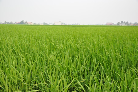 padi: padi field Stock Photo