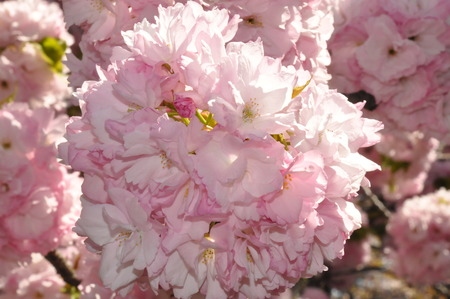 closed up cherry blossom in New York Imagens