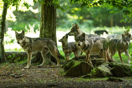 Gray wolf family in the forest Фото со стока