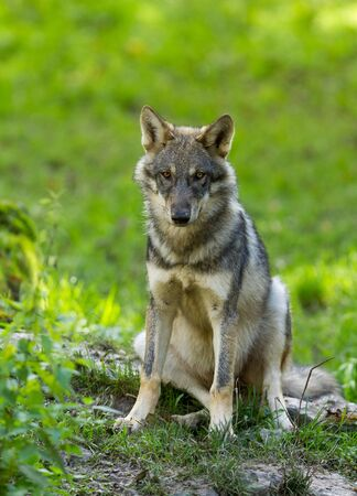 Portrait of Gray wolf in the forest
