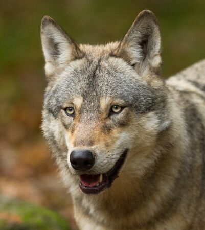 Porträt des grauen Wolfes im Wald Standard-Bild