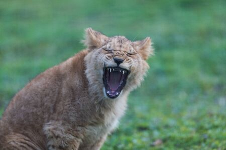 Howling of a Baby lion