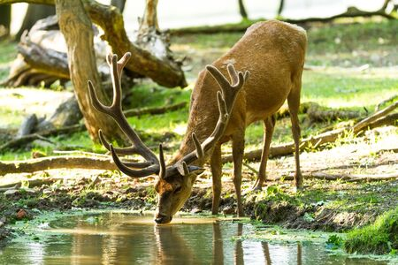 Deer drinking in the forest 版權商用圖片