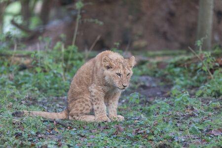 Lion walking in the meadow Stock fotó