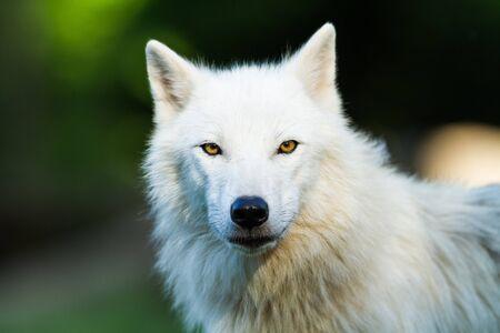 Porträt des weißen Wolfes