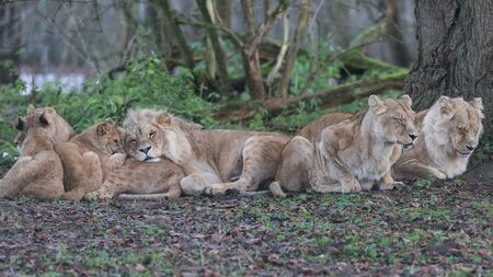 A family on lion sitting in the meadow Фото со стока