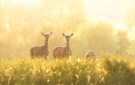 A group of doe during the sunrise