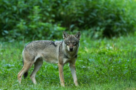 Grey wolf in the forest 写真素材