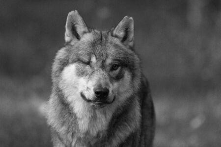 Loup gris dans la forêt Banque d'images