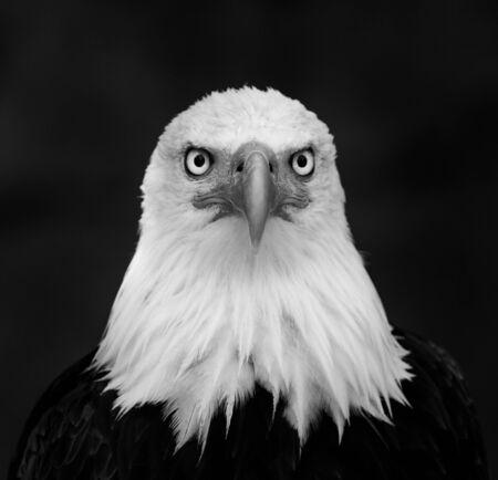 Portrait of Bald eagle Stock Photo