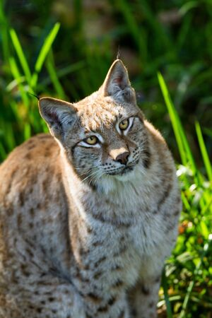 Portrait of lynx in the forest