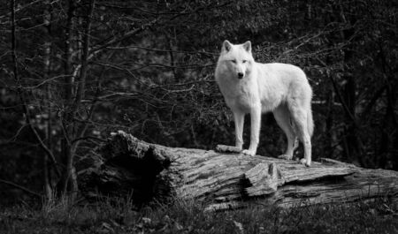 White wolf in the forest Фото со стока
