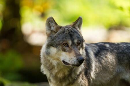 Lobo gris en el bosque
