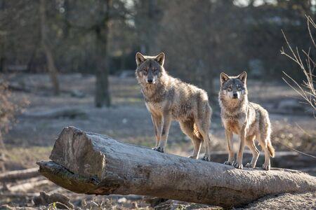 Grijze wolf in het bos
