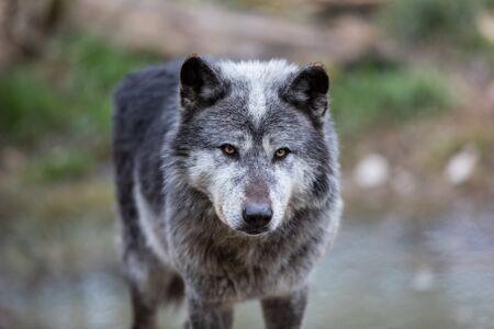 Loup noir dans la forêt