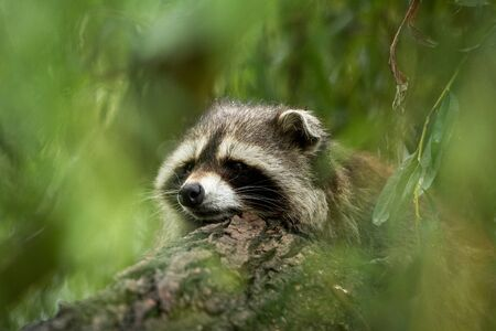 Raccoon in the tree Stock fotó
