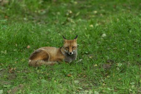 Red fox in the forest Stock Photo