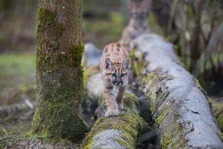 Puma nella foresta