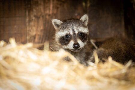 Raccoon in a wildlife park